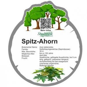 spitz ahorn 35