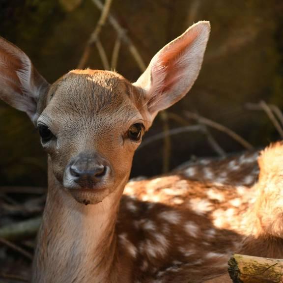 Tierpark Girgentanaziege Zwillingsgeburt (Eulenberger)
