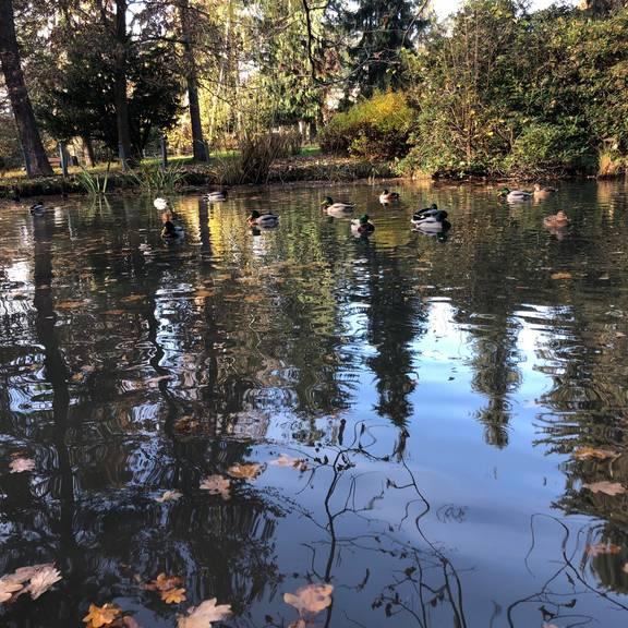 Stadtpark mit Enten
